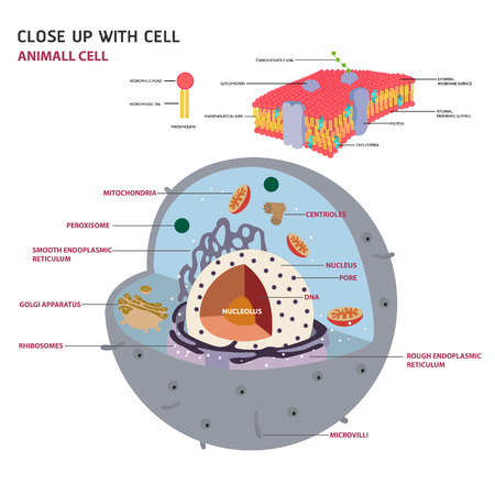 animal cell cross section structure of a Eukaryotic cell Vector diagram  イラスト・ベクター素材