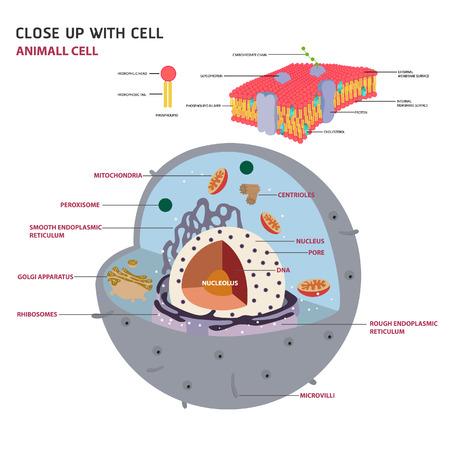 cellula animale struttura sezione trasversale di un diagramma vettoriale cellula eucariota