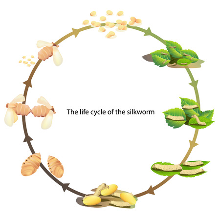 life cycle silk worm vector