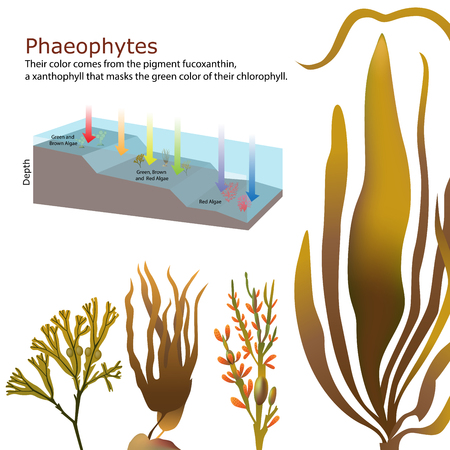 macroscopic: underwater Algae seaweed elements vector