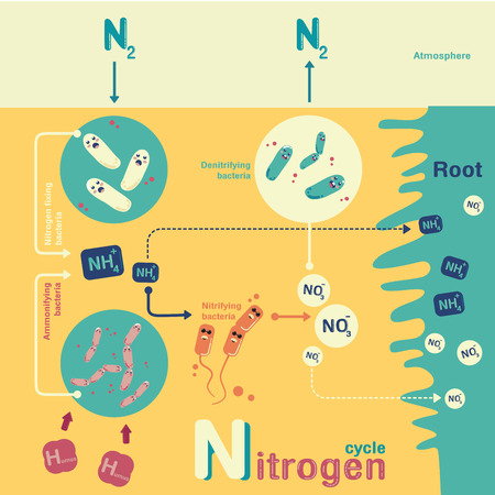 Nitrogen cycle in-fographic cartoon vector