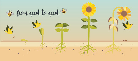 From seed to seed plant growth proccess illustration design