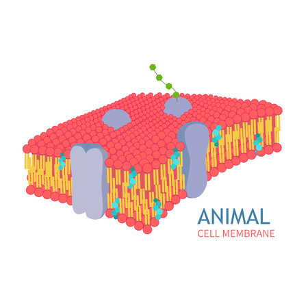Animal Cell Anatomy structure vector illustration