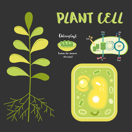 Inside the plant cell structure illustration vector