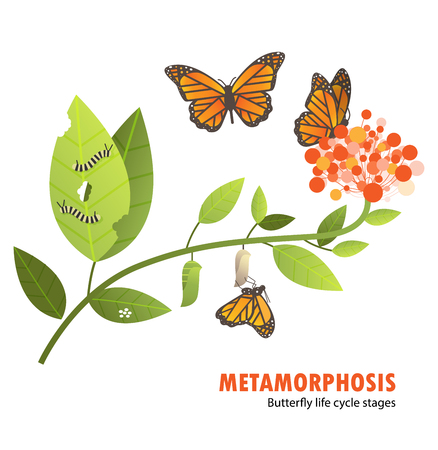 Butterfly life cycle metamorphosis.