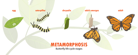 Butterfly levenscyclus metamorfose. Stock Illustratie