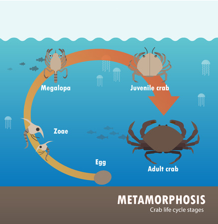 Crab life cycle metamorphosis. Stock Illustratie