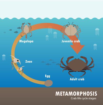 Crab life cycle metamorphosis. Vettoriali