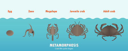 Crab life cycle metamorphosis. Çizim