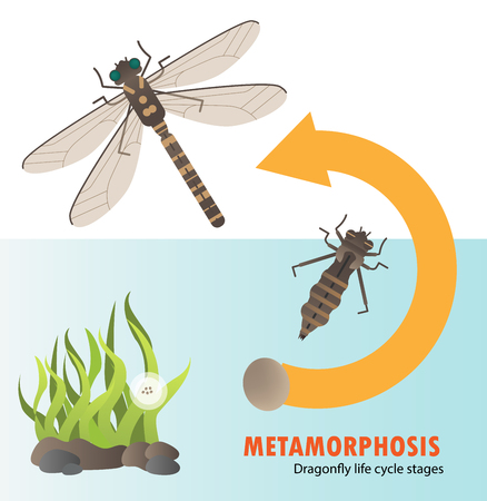 Dragonfly life cycle metamorphosis.