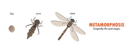 Dragonfly life cycle metamorphosis. 스톡 콘텐츠 - 99437045