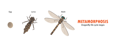 Metamorfosis del ciclo de vida de la libélula. Foto de archivo - 99437045