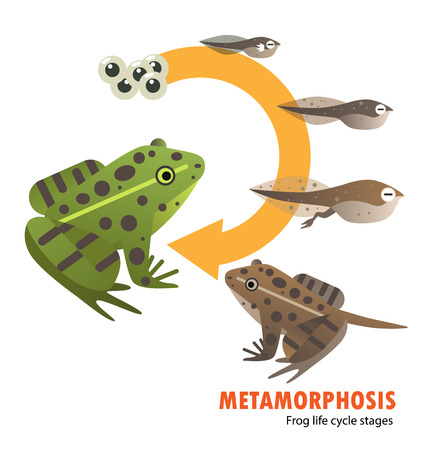 Frog life cycle metamorphosis.