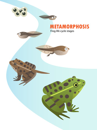 Frog life cycle metamorphosis. Stock Vector - 99437048