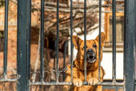 watchdog: german shepherd dog watchdog