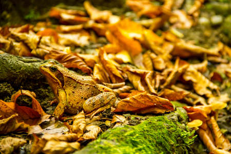 wart: brown toad among autumn leaves