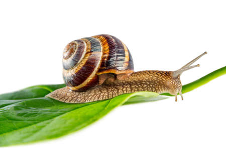snail on green leaf in isolated white background