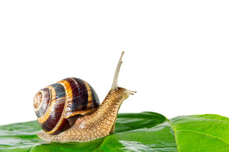descubridor: snail isolated on white background green leaf Foto de archivo