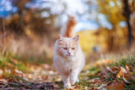 beautiful cat walking in autumn in november