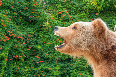 kodiak: Grizzly Bear in nature