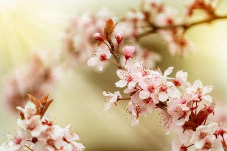 Cherry Blossom. Sakura in Springtime. Beautiful Pink Flower