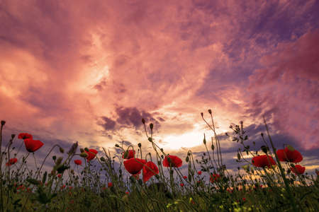 dramatic sunrise: Dramatic sunrise overcast over the meadow of wheat and poppies Stock Photo