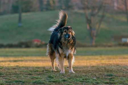 large dog: gorgeous large dog in a park