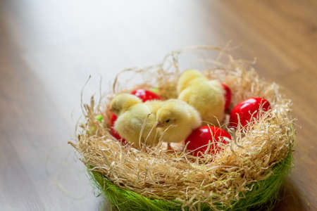 red Easter egg with Easter chicks in springtime Stock Photo