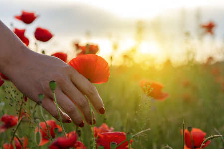 Woman holds red poppy in hands in the field in summer