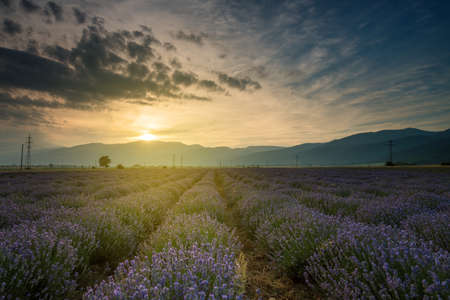lavande: Lavender fields. Beautiful image of lavender field. Summer sunset landscape