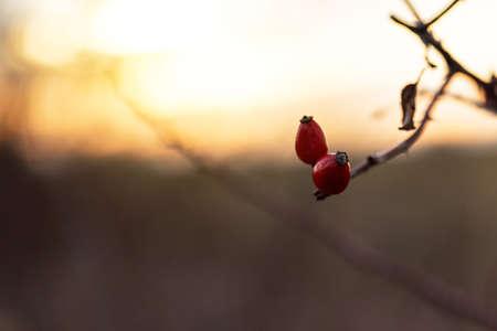 Rosehip bush on a nice winter background at  sunrise. Stock Photo