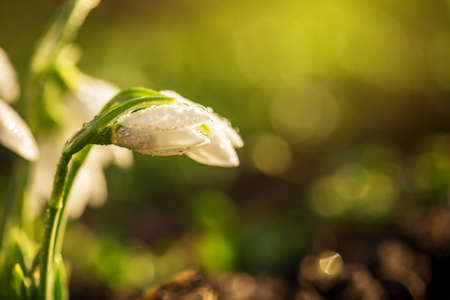 The first spring flowers snowdrops with morning drops. Stock Photo