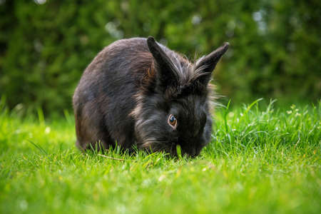 adorable black rabbit outdoors on grass in summer. Stock Photo