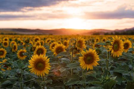 Sunflower field in rural area, under storm clouds, in summer. 版權商用圖片 - 124747346