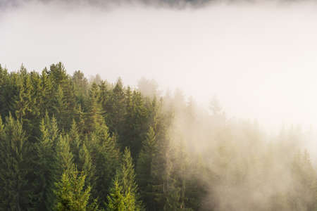 Panoramic view of misty forest. Foggy forest in a gloomy landscape.