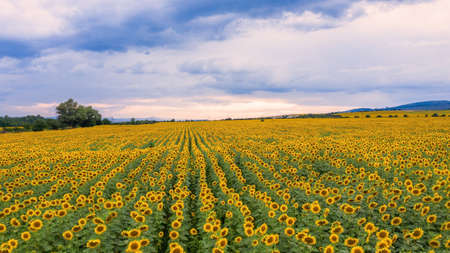 Aerial view of the field of sunflowers.
