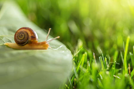 Beautiful lovely snail in grass with morning dew, macro, soft focus. Grass and clover leaves in droplets of water in spring summer nature. Amazingly cute artistic image of pure nature. Banco de Imagens