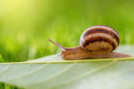 Snail on a grass on a sunny day close-up.