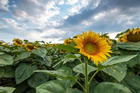 Sunflower field in rural area, under storm clouds, in summer