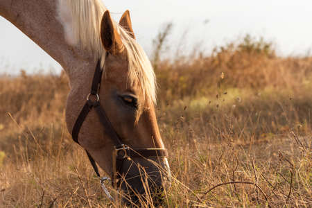 Beautiful red horse grazing in a meadow in spring. Stock Photo