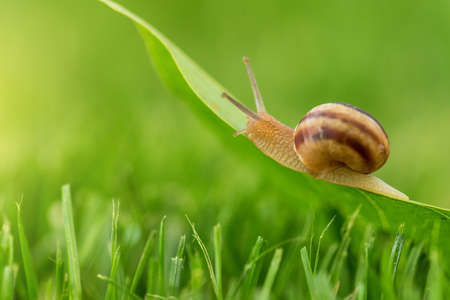 Lovely snail in grass with morning dew, macro, soft focus.