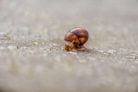 Garden snail and water rain drops at summer.