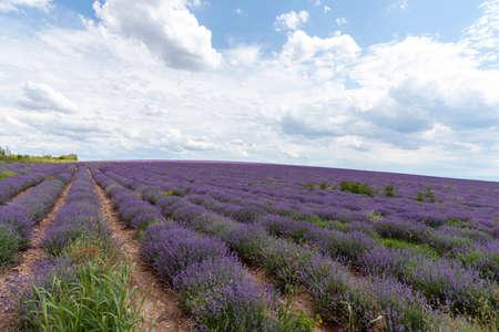 Lavender fields. Beautiful image of lavender field. Standard-Bild