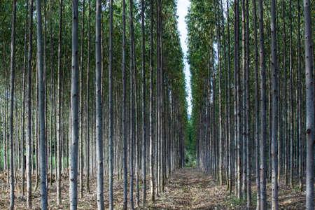 eucalyptus scotus