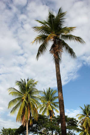 coconut  tropical  palm  nature  tree  beach  blue  travel  sky  vacation Stock Photo - 15480373