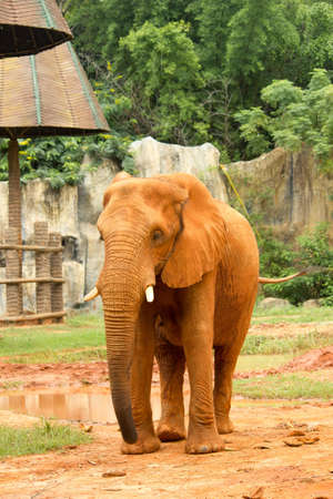 herbivore: elephant