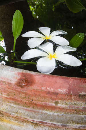 plumeria,frangipani flowers, frangipani,  flower Stock Photo