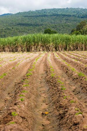 sugarcane Stock Photo - 15745717