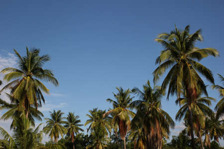 coconut tree Stock Photo - 15745715