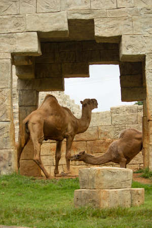 animal,  sand,  travel,  africa,  nature,  tourism,  dromedary,  sahara Stock Photo